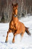 Galope vermelho dos funcionamentos do cavalo no inverno Fotos de Stock