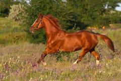 Galoper de cheval photos stock