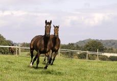 Galoper de cheval de deux beau châtaignes Image stock