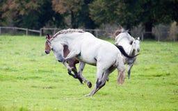 Galoper de chevaux Photographie stock libre de droits