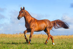 Galoper rouge de cheval Photo stock