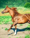 Galoping chestnut arabian stallion at freedom Royalty Free Stock Photo