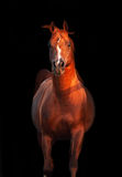 Galoping chestnut arabian stallion isolated. At black Royalty Free Stock Photos