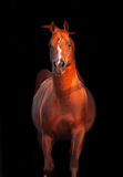 Galoping chestnut arabian stallion isolated. At black Stock Photography