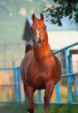 Galoping chestnut arabian stallion Royalty Free Stock Image
