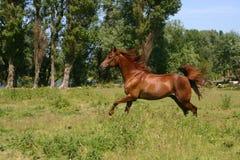 galoping häst Arkivbild