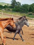 Galoping  spanish horses herd. Andalusia. Spain Stock Images
