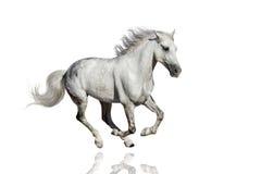 Galopp för HWhite hästkörning Royaltyfri Fotografi