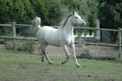 Galoppare arabo del cavallo Fotografie Stock Libere da Diritti