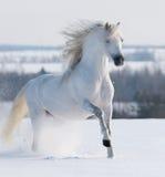 Galoppare bianco dello stallion Fotografia Stock Libera da Diritti