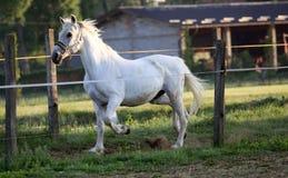 Galoppare del cavallo bianco Fotografia Stock Libera da Diritti