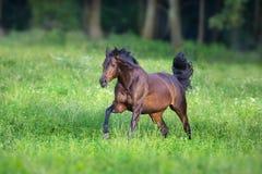 Galoppare del cavallo di baia fotografie stock libere da diritti