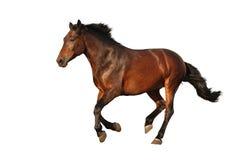 Galoppare del cavallo di Brown isolato su bianco Immagini Stock Libere da Diritti