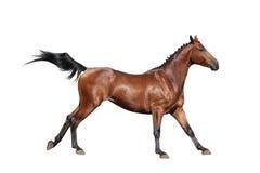 Galoppare del cavallo di Brown isolato su bianco Immagini Stock