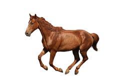 Galoppare del cavallo di Brown isolato su bianco Fotografie Stock Libere da Diritti