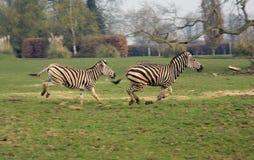 Galoppare della zebra Fotografie Stock Libere da Diritti