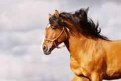 Galoppare dello Stallion Immagine Stock Libera da Diritti