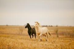 Galoppare di due cavalli Fotografia Stock Libera da Diritti