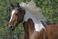 Galoppare di Pinto Horse Immagini Stock Libere da Diritti