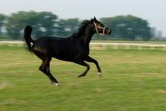 Galoppare nero del cavallo Fotografie Stock