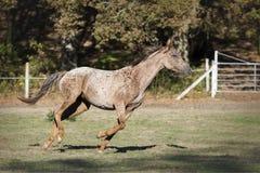 Galoppera Appaloosahästen i en äng fotografering för bildbyråer