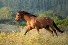 Galoppera den kastanjebruna hästen på solnedgången fritt i en äng i Galicia Spanien arkivbilder