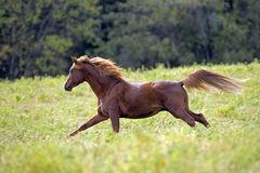Galoppera för häst arkivbild