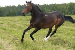 galopperar hästen Arkivbild