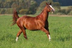 Galopperend paard op gebied stock foto