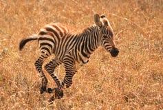 Galopperende babyzebra in Kenia Stock Afbeeldingen