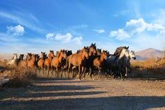 Galopperende paarden bij de aard Paarden het lopen Royalty-vrije Stock Afbeelding