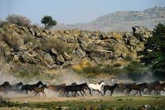 Galopperende paarden bij de aard Paarden het lopen Royalty-vrije Stock Foto's