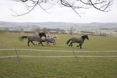 Galopperende paarden en poneys Royalty-vrije Stock Afbeelding