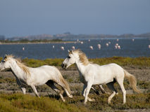 Galopperende witte paarden in Frankrijk Stock Foto's