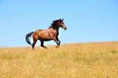 Galoppi 2 del cavallo Immagini Stock Libere da Diritti