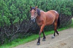 Galoppi del cavallo Fotografie Stock Libere da Diritti