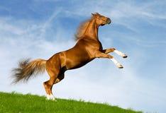 Galoppi del cavallo della castagna Fotografia Stock Libera da Diritti