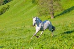 Galoppi del cavallo di Gray Arab Immagini Stock