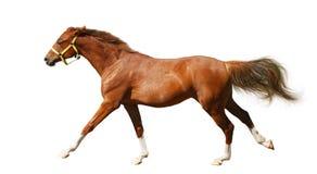 Galoppi del foal dell'acetosa Fotografie Stock