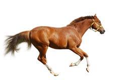Galoppi del foal dell'acetosa Fotografia Stock Libera da Diritti