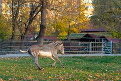 Galoppi della zebra nel parco della città nella stagione di autunno immagini stock libere da diritti