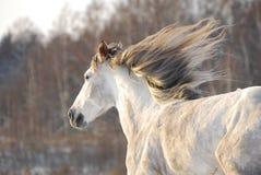 Galoppi grigi del cavallo Fotografie Stock