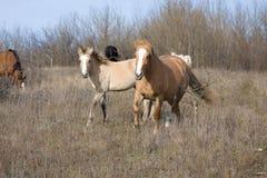 Galoppieren mit zwei Pferden Stockbild