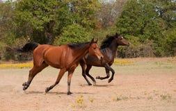 Galoppieren mit zwei Pferden Lizenzfreies Stockfoto