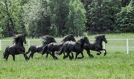 Galoppierende Herde von friesischen Stuten lizenzfreie stockbilder