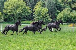 Galoppierende Herde von friesischen Stuten stockfoto
