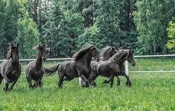 Galoppierende Herde von friesischen Stuten lizenzfreies stockbild