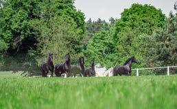 Galoppierende Herde von friesischen Stuten stockfotos
