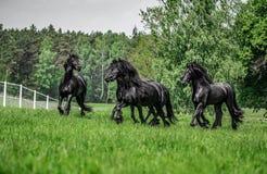 Galoppierende Herde von friesischen Stuten lizenzfreies stockfoto