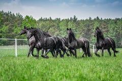 Galoppierende Herde von friesischen Stuten lizenzfreie stockfotos